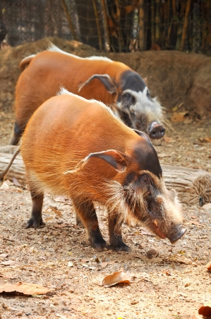 pigsty: The red river hog, also known as the bush pig, is a pig living in Africa.