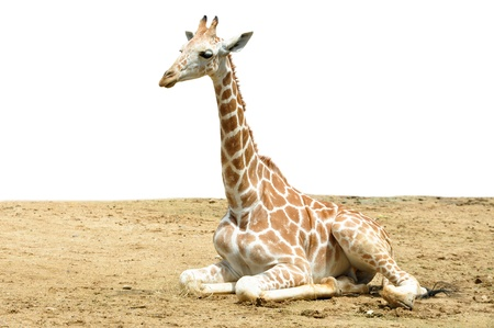 A giraffes habitat is usually found in African savannas, grasslands or open woodlands photo