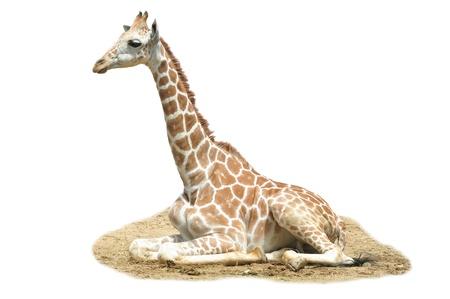 A giraffes habitat is usually found in African savannas, grasslands or open woodlands photo