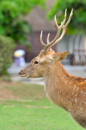 asia deer: Sika deer are found in the temperate and subtropical forests of eastern Asia.