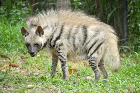 シマハイエナは、広い頭部暗い目、厚い口輪および大きい、先の尖った耳を持っています。