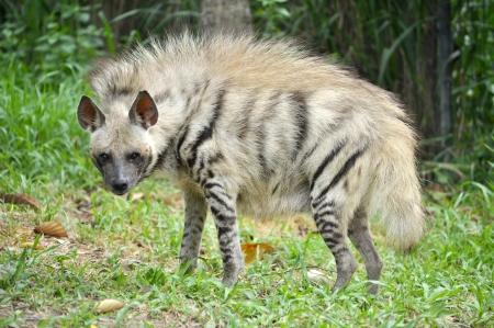 hienas: Hienas rayadas tienen una cabeza ancha, ojos oscuros, un hocico grueso y las orejas grandes y puntiagudas.