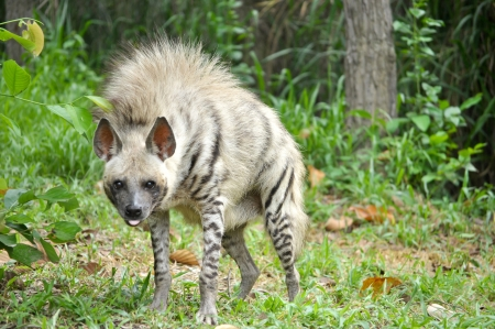 Striped hyenas have a broad head with dark eyes, a thick muzzle, and large, pointed ears. photo