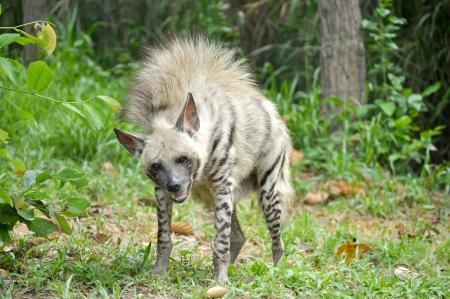 iene: Iene a strisce hanno una vasta testa con gli occhi scuri, un muso di spessore, e grandi orecchie a punta.