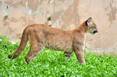 Baby Puma and kitten are very similar. But baby puma is a point along body and will fade as it grow up. Stock Photo