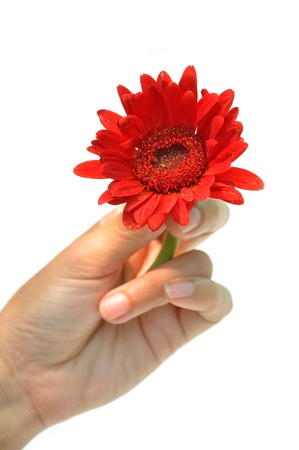 She holds a red gerbera in her hand. photo