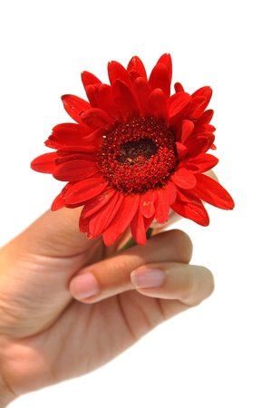 She holds a red gerbera in her hand  photo