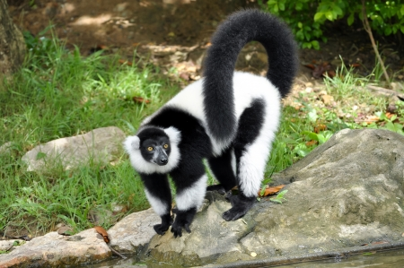 The black and white ruffed lemur is the more endangered of the two species of ruffed lemurs, both of which are endemic to the island of Madagascar. 免版税图像