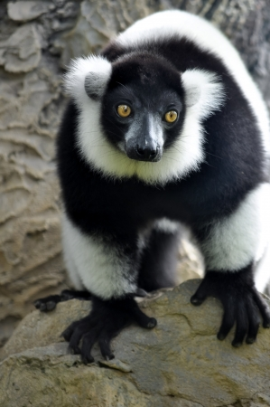 The black-and-white ruffed lemur is the more endangered of the two species of ruffed lemurs, both of which are endemic to the island of Madagascar. photo