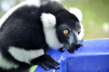 The black and white ruffed lemur is the more endangered of the two species of ruffed lemurs, both of which are endemic to the island of Madagascar. photo