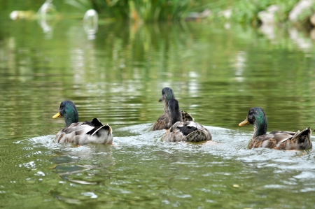 dabbling: The Mallard or Wild Duck is a dabbling duck