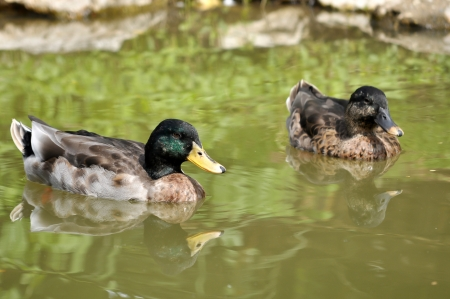 dabbling duck: The Mallard or Wild Duck is a dabbling duck