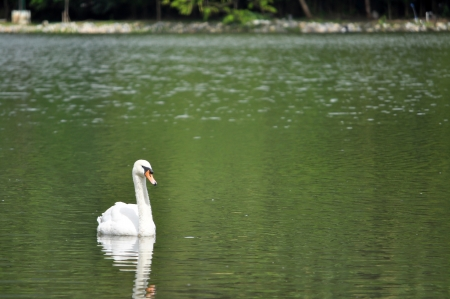 poaching: The Mute Swan is protected in most of its range, but this has not prevented illegal hunting and poaching