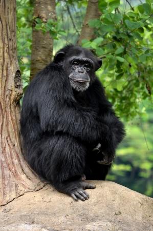 chimpances: Los chimpanc�s, a veces coloquialmente chimpanc�, dos especies de hom�nidos existentes de los simios