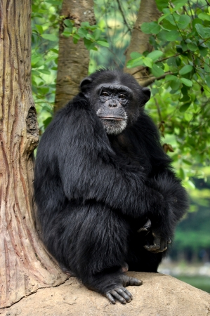 Chimpanzees, sometimes colloquially chimp, are two extant hominid species of apes photo