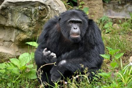 extant: Los chimpanc�s, a veces coloquialmente chimpanc�, dos especies de hom�nidos existentes de los simios