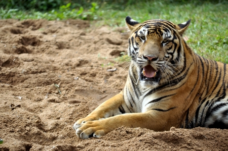 The Bengal tiger is found primarily in India with smaller populations in Bangladesh, Nepal, Bhutan, China and Myanmar.