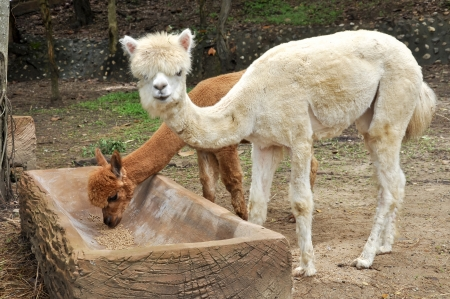 An alpaca is a domesticated species of South American camelid. photo