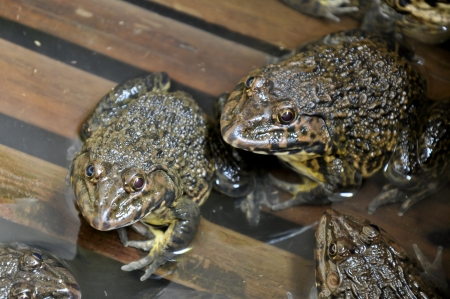 common hop: Frogs are primary predators and an important part of the food web.