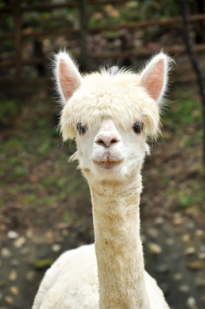 An alpaca is a domesticated species of South American camelid. 免版税图像