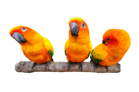 The Sun Parakeet or Sun Conure is a medium-sized brightly colored parrot native to northeastern South America  photo