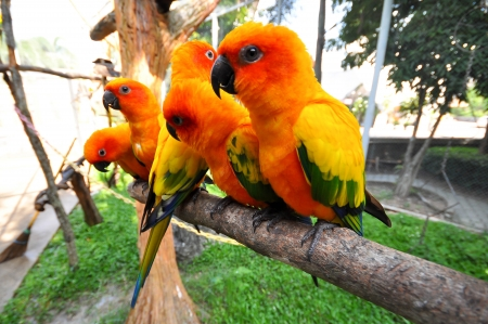 The Sun Parakeet or Sun Conure is a medium-sized brightly colored parrot native to northeastern South America. photo