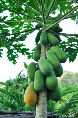 papaya tree: The papaya has been groomed and fruitful. Stock Photo