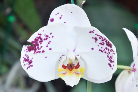 hybridization: Orchid flower with white petals and flecked with magenta. Stock Photo