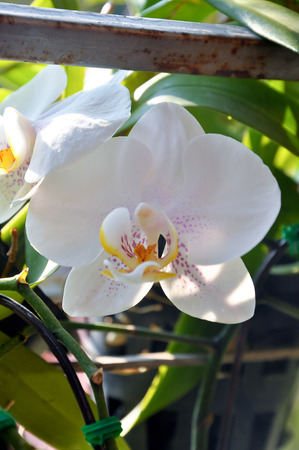 hybridization: Orchid flower with white petals and flecked with magenta  Stock Photo