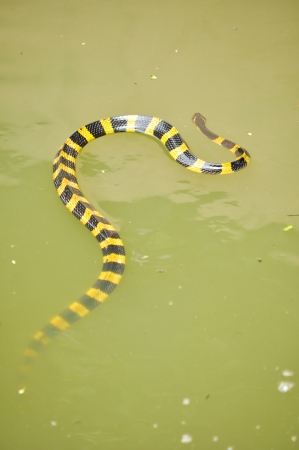 slithering: Banded krait is slithering slowly but swimming faster, with agility in the water.