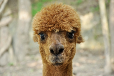 An alpaca is a domesticated species of South American camelid  photo