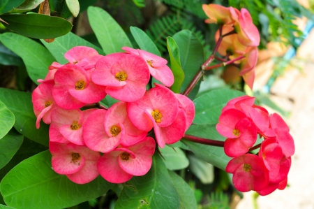 plantlet: Closeup of a cluster of pink crown of thorns flowers  Stock Photo