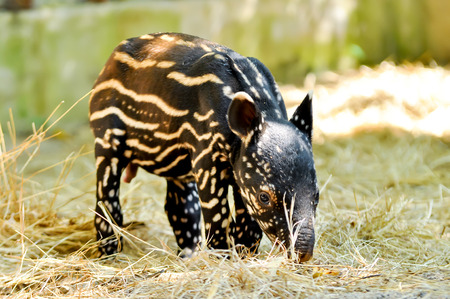 Baby malayan tapirs have striped-and-spotted coats for camouflage.