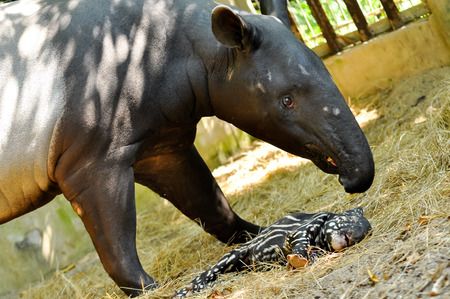Juvenile tapir, still with a point, well taken care of its mother.