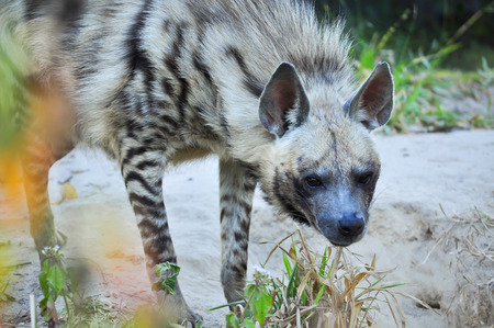The striped hyena is a species of true hyena native to North and East Africa. photo