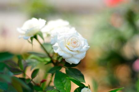 altruismo: Las rosas blancas son un s�mbolo de amor y altruismo. Foto de archivo