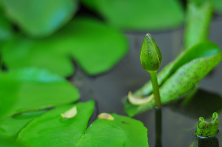 Before it will bloom lotus with green flowers rise above the surface  photo