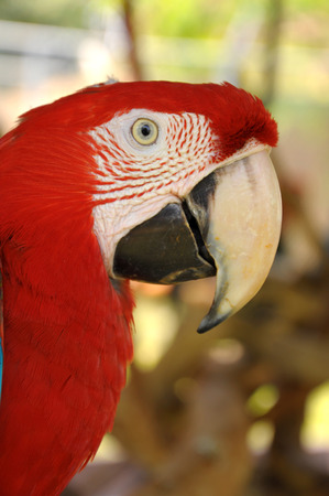 A Close up Green-winged Macaw face