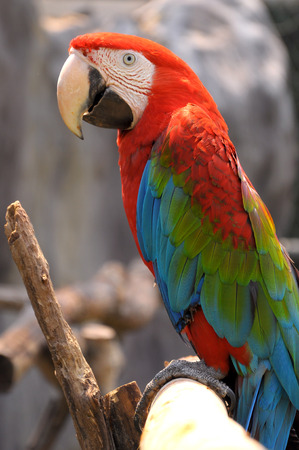 Green-winged Macaw on tree branches within the exhibit. photo