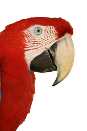 A Close up Green-winged Macaw face isolated on white background. photo