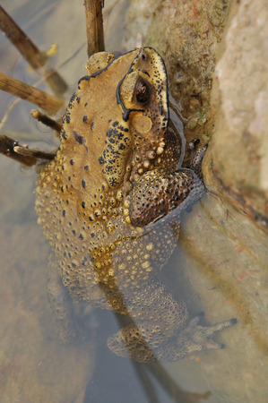 Toads are best known for their thick, warty skins. photo