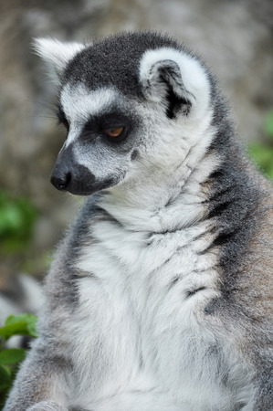 Ring-tailed lemur is instantly recognisable due to its long, bushy, black-and-white ringed tail. photo