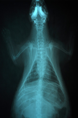 X-ray pictures of porcupine, veterinary use in the diagnosis of diseases that occur with it. photo