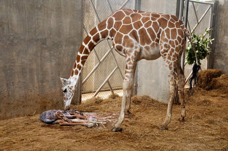 Mother giraffes are urging their young after birth. Stock Photo