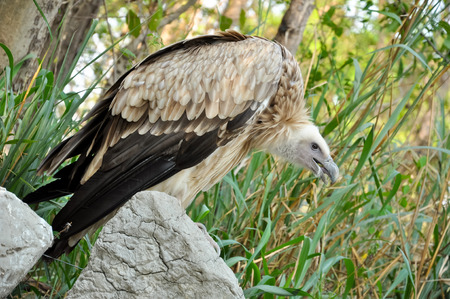 scavenger: Vulture is scavenger on carcasses of dead animals on African plains.