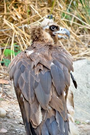 scavenging: Black Vultures are scavenging birds at large.