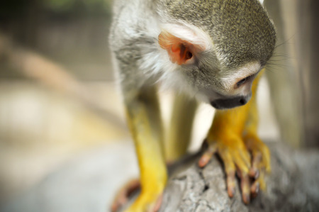 omnivores: Squirrel monkeys live in the tropical forests of Central and South America.
