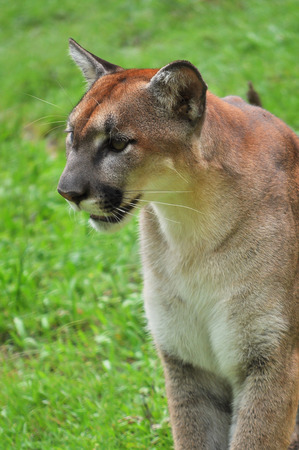 cougar: Cougar is looking on green background