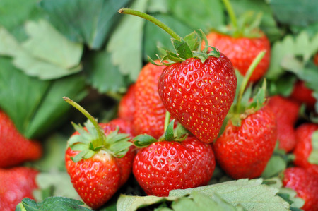 산에있는 농장에서 신선한 딸기입니다.