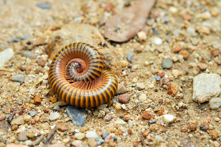 preference: Millipedes are typically forest floor dwellers, occurring leaf litter, dead wood, or soil, with a preference for humidity.